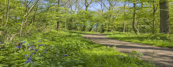 D81_4019Bluebells in Kingsmead Spinney park.jpg